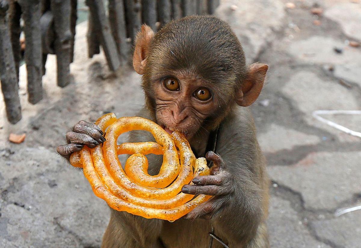 मुसाफिर नाम का यह पालतू बंदर, कोलकाता में एक फुटपाथ पर जलेबी खाते हुए. (फोटो: Reuters)