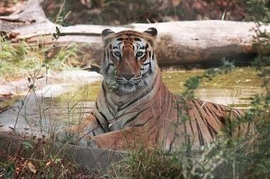 """<div class=""""paragraphs""""><p>International Tiger Day</p></div>"""