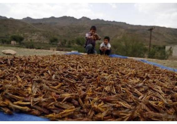 मप्र के कई हिस्सों में टिड्डी झुंडों की दस्तक, फसलों को नुकसान का अंदेशा