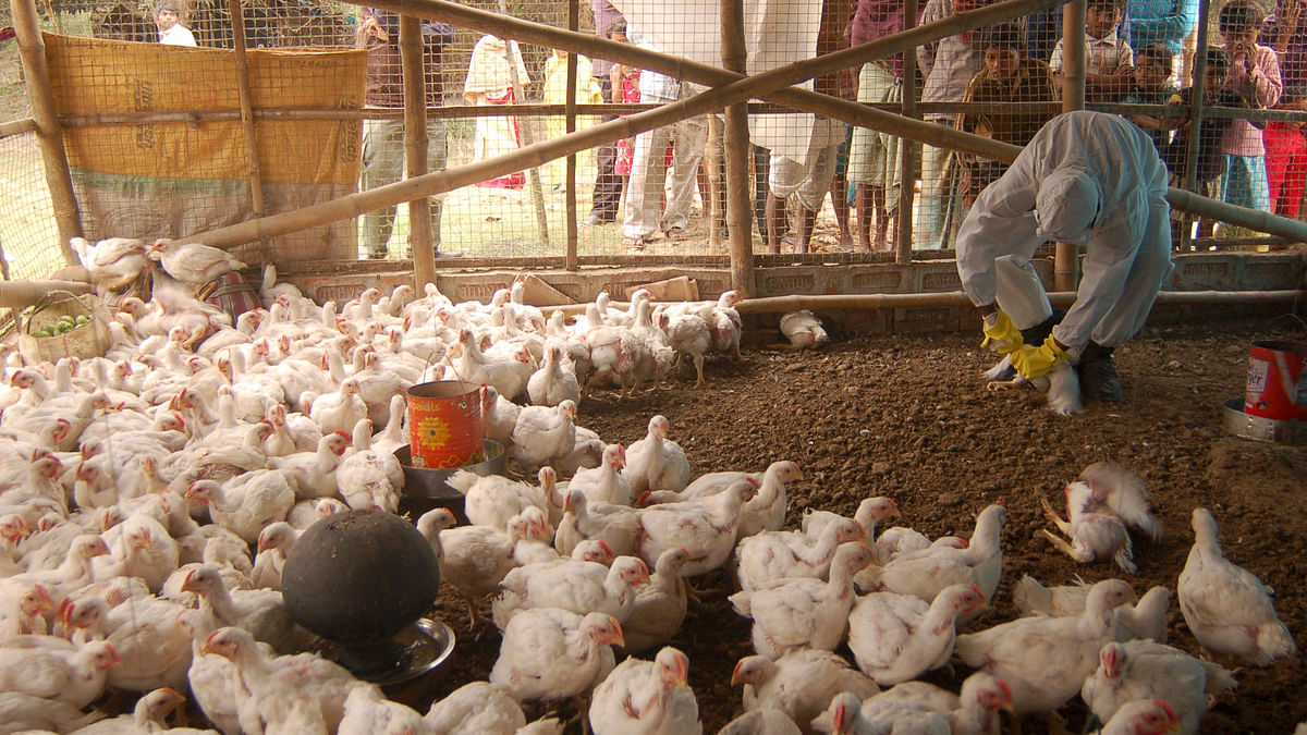 A health worker is seen giving 'medicine' to the chickens at a poultry farm. Image used for representation.
