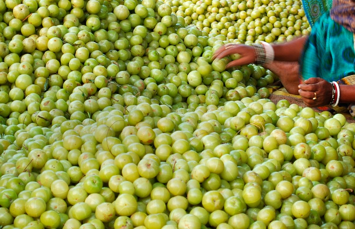 <!--StartFragment-->A woman arranges Amla or Indian gooseberries for selling at a wholesale market in the northern Indian city of Allahabad. (Photo: Reuters)<!--EndFragment-->