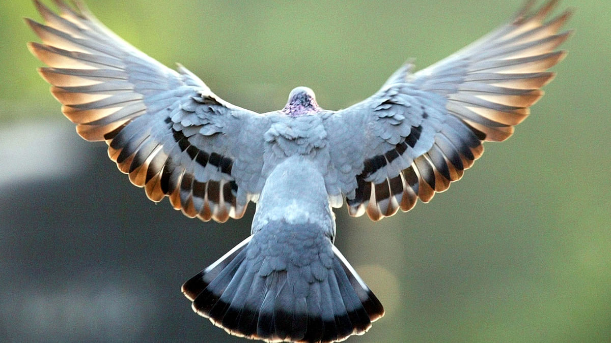 A pigeon in flight. (Photo: Reuters)