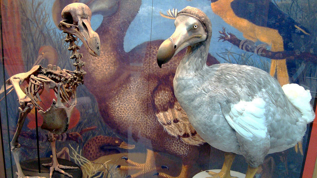 We lost the dodo because of our reckless way of living. Are humans next? (Photo: Wikimedia Commons)