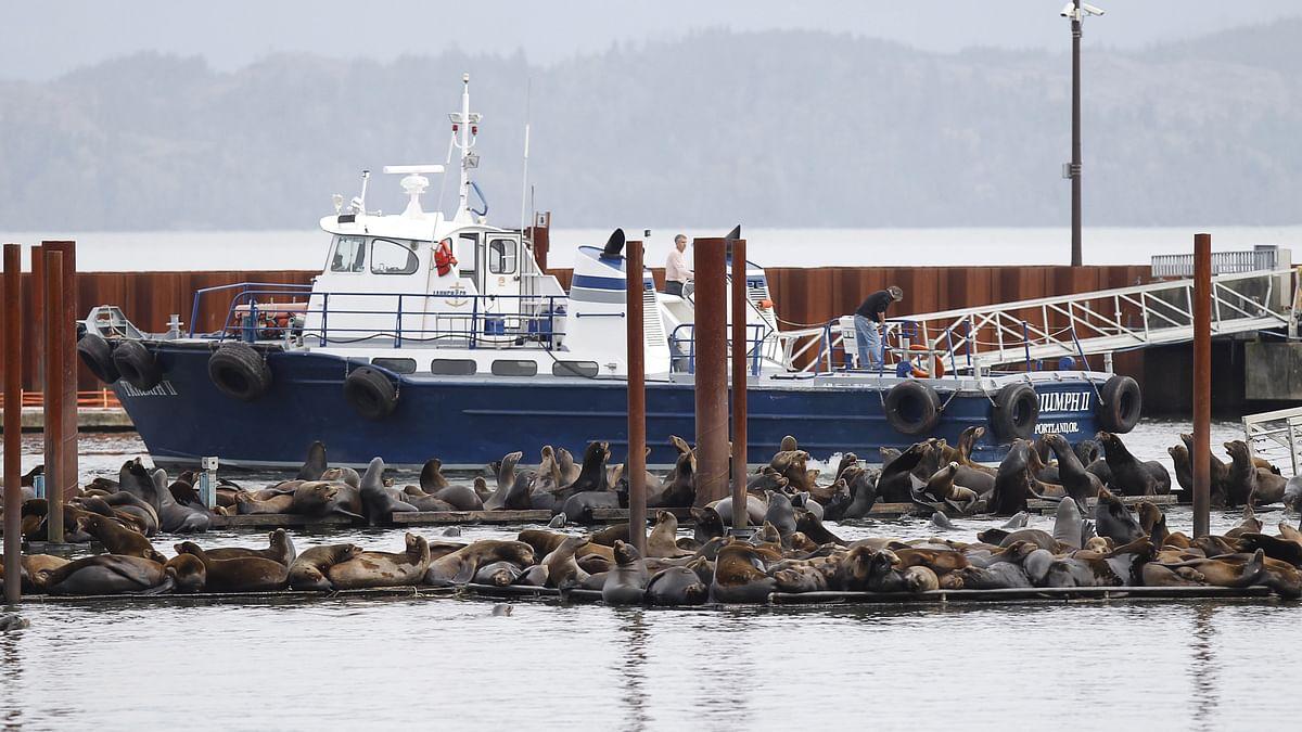 Hundreds of sea lions lay on marina docks in Astoria, Oregon. (Photo: Reuters)