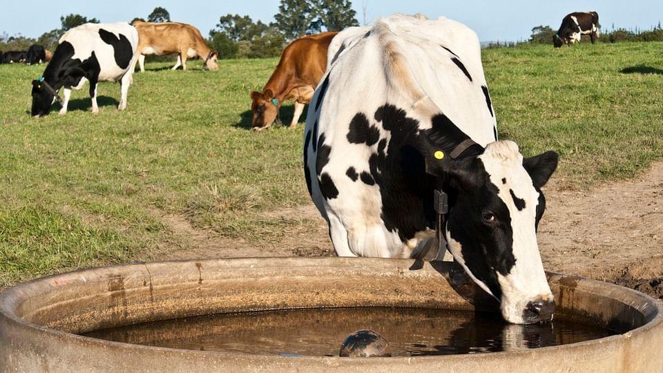 Representative image of cattle. (Photo: iStock)