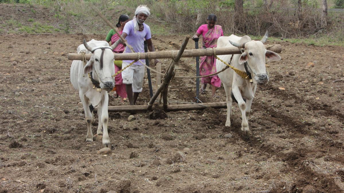 Cotton Sowing in Vidarbha. (Photo: Vivian Fernandes)