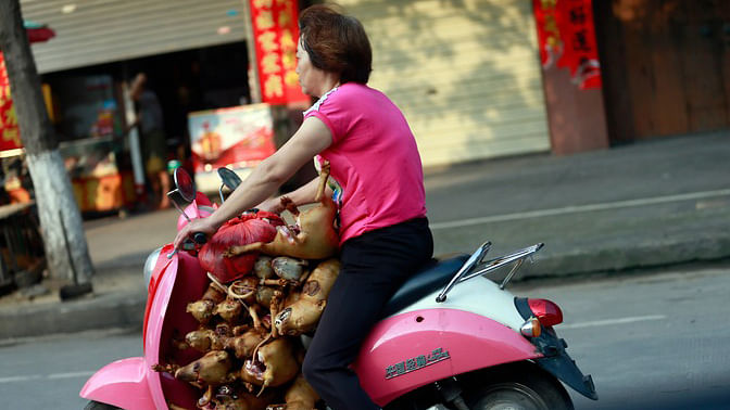 A woman on her moped transports more than 10 dogs, which had just been slaughtered, to her market shop for sale. (Photo: AP)