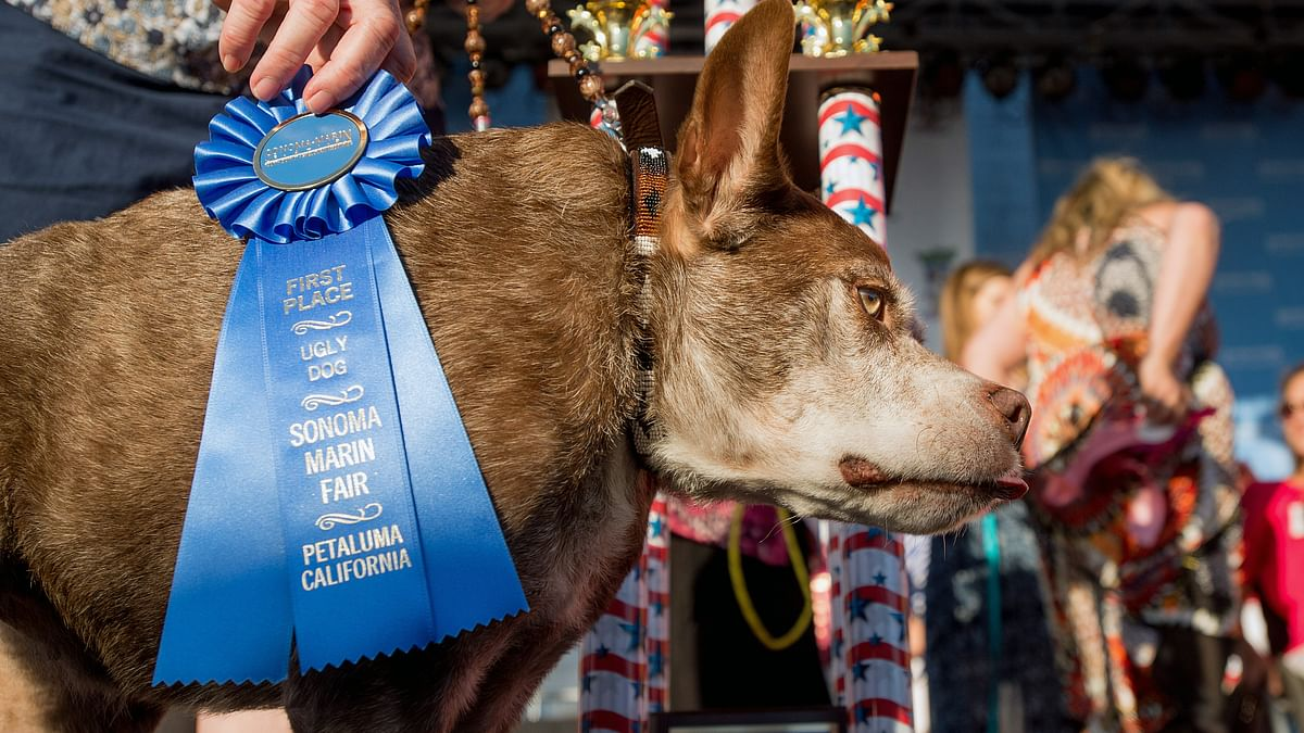 Quasi Modo after winning the first place at World's Ugliest Dog competition held at Sonoma Marin Fair, Petaluma California.