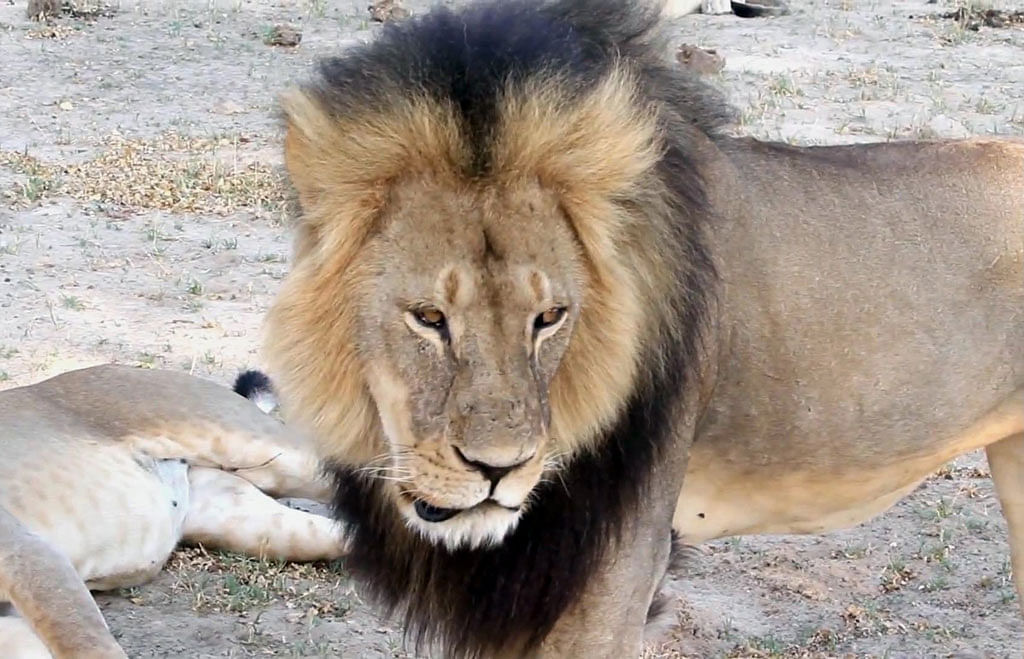The protected lion known as Cecil in Hwange National Park, in Hwange, Zimbabwe. (Photo: AP)