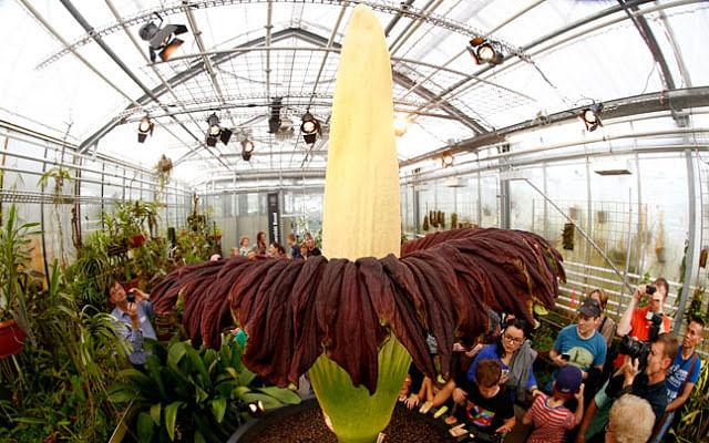"(Photo Courtesy: <a href=""http://sovanvirak.blogspot.in/2015/07/the-worlds-largest-flower-in-first-5.html"">sovanvirak.blogspot.in</a>)"