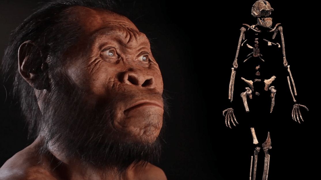 A reconstruction of Homo naledi (left) and a composite skeleton recovered from the Rising Star cave in South Africa. (Photo: Robert Clark/National Geographic, Lee Berger/University of the Witwatersrand via AP)