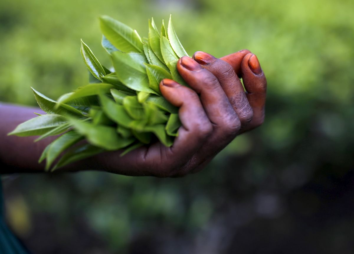 The tea industry claims it is burdened with too many extraneous factors and does not have capital to re-invest in the development of plantation workers. (Photo: Reuters)
