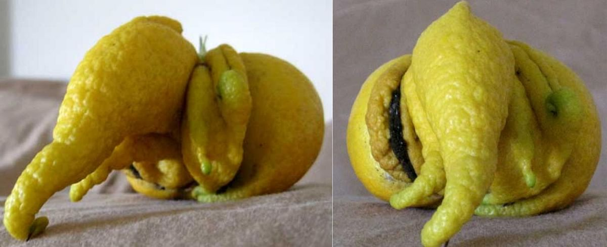 "Ganesha in a lemon. (Photo: <a href=""http://www.hindu-blog.com/2011/01/lemon-in-ganesh-form-naturally-formed.html"">hindu-blog.com</a>)"
