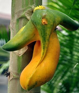 "Ganesha in a papaya. (Photo: <a href=""http://www.gnaana.com/visuals/september11/Ganesh_Papaya.jpg"">gnaana.com</a>)"