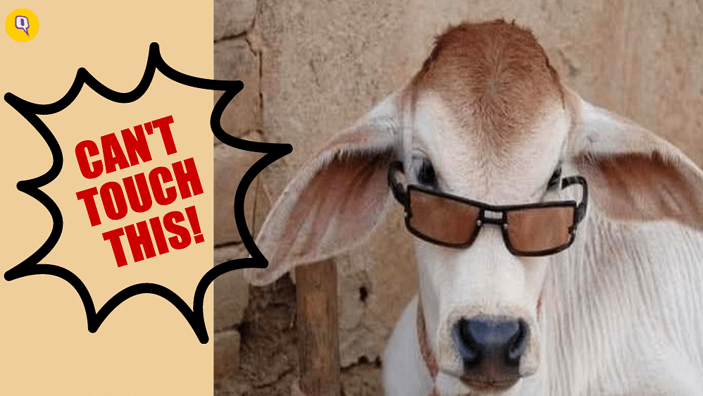 """<i>Gai Humaari Mata Hai: </i>The wretched beef ban (Photo: <a href=""""http://www.amulyam.in/funny-pics-cow-with-sunglasses-212832"""">www.amulyam.in</a>)"""