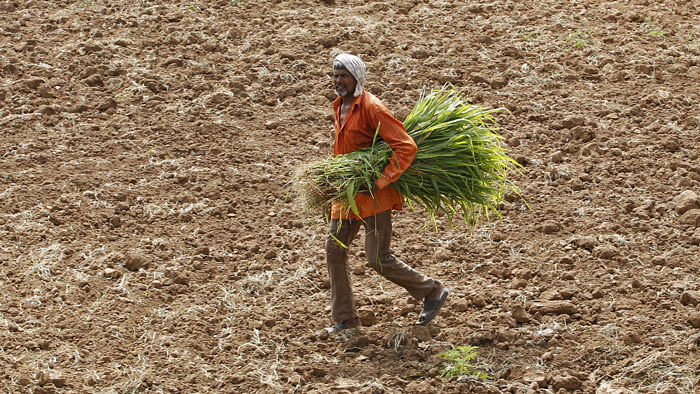 A farm worker walking across a dried paddy field on the outskirts of Ahmedabad. (Photo: Reuters)