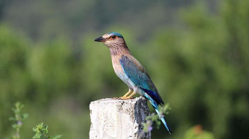 Telangana&nbsp;state bird Palapitta (Photo courtesy: <i>The News Minute</i>)