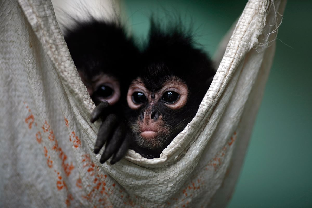 A couple of Spider Monkeys, that had been found on a bus inside a bag with three dead monkeys, rest in a hammock at the Federal Wildlife Conservation Center on the outskirts of Mexico City. (Photo: Reuters)