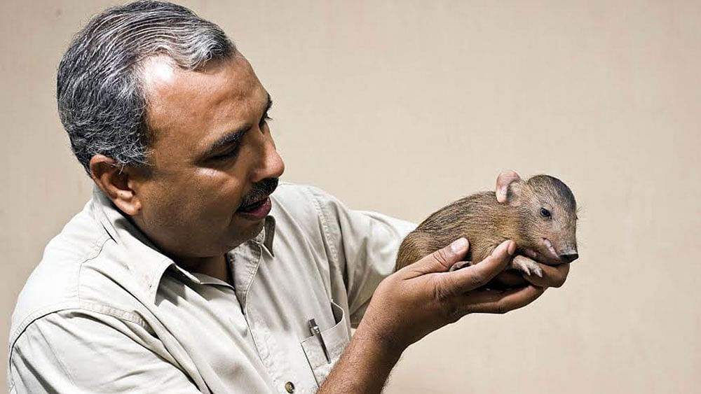 Field biologist Dr Goutam Narayan holding a captive newborn. (Photo Courtesy: Pygmy Hog Research & Breeding Centre)