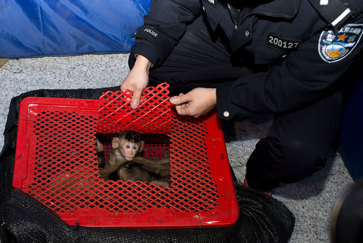 Long-tailed macaque babies are seen inside a basket as police seized a truck smuggling them from Vietnam to China, in Changsha, Hunan province. (Photo: Reuters)