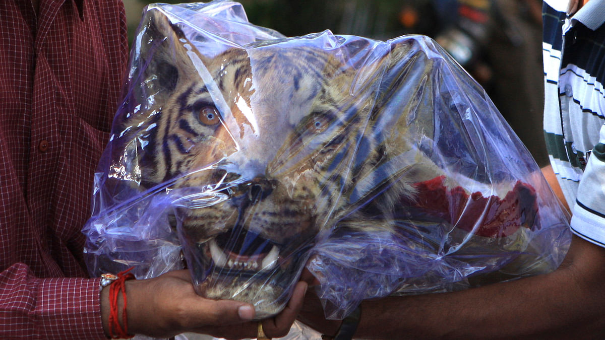 File image of crime branch officers holding a seized head of a Royal Bengal tiger outside a hotel in Nagpur March 16, 2011. (Photo: Reuters)