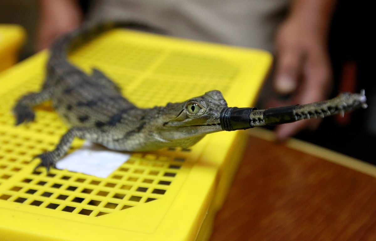 A Thai cop shows a baby crocodile with his mouth tied. 451 such baby crocodiles were seized earlier this year from small bags packed into cases after authorities received a tip off that a known trafficker was on his way to Thailand's grey market. (Photo: Reuters)