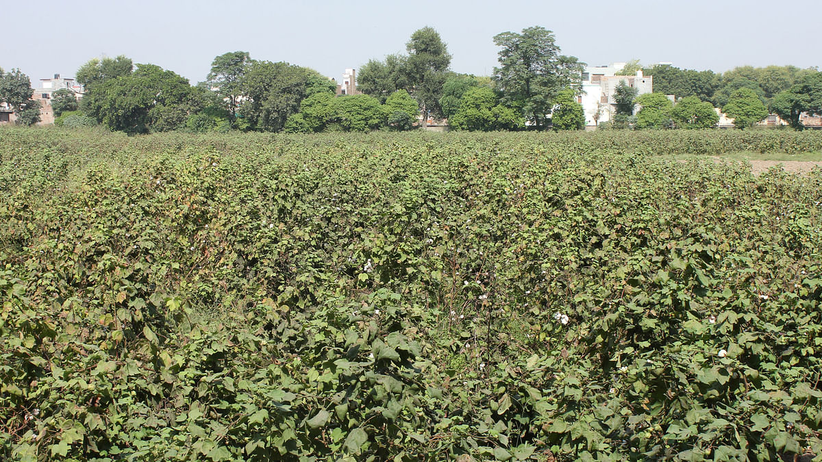 Cotton crop at Punjab Agriculture University, Bathinda. (Photo: Vivian Fernandes)