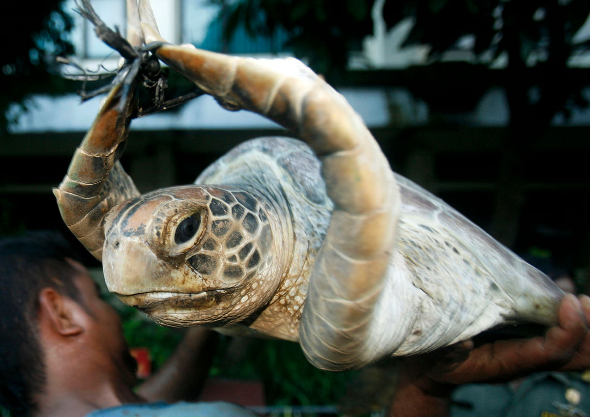 A worker holds a green turtle (Chelonia mydas) after unloading it from a truck in Denpasar, capital city of the province of Bali. (Photo: Reuters)