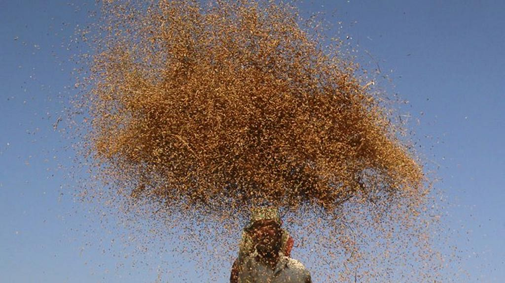 A farmer winnows paddy crops in a field on the outskirts of Agartala. (Photo: Reuters)