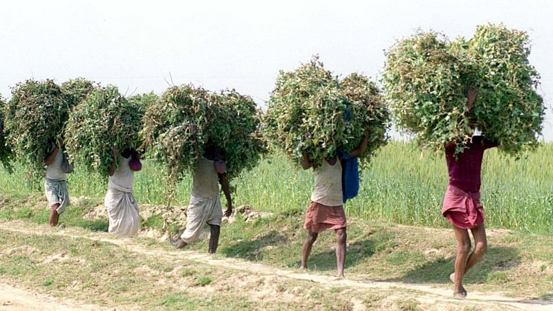 Farmers of  Surajpur village in  Bihar carry fodder for sale in the market. (File photo: Reuters)
