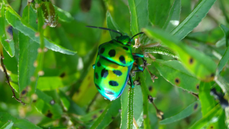 Shiny green bug in Hampi. (Photo Courtesy: Sonal Kwatra Paladini/Drifter Planet)