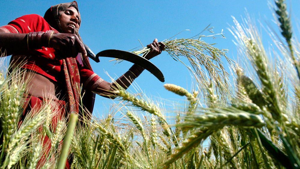 A farmer harvests mustard crop in her field.  (File Photo: Reuters)