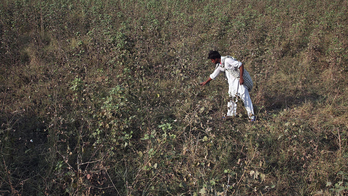 A farmer examines his damaged cotton crop. (Representational Photo: Reuters)
