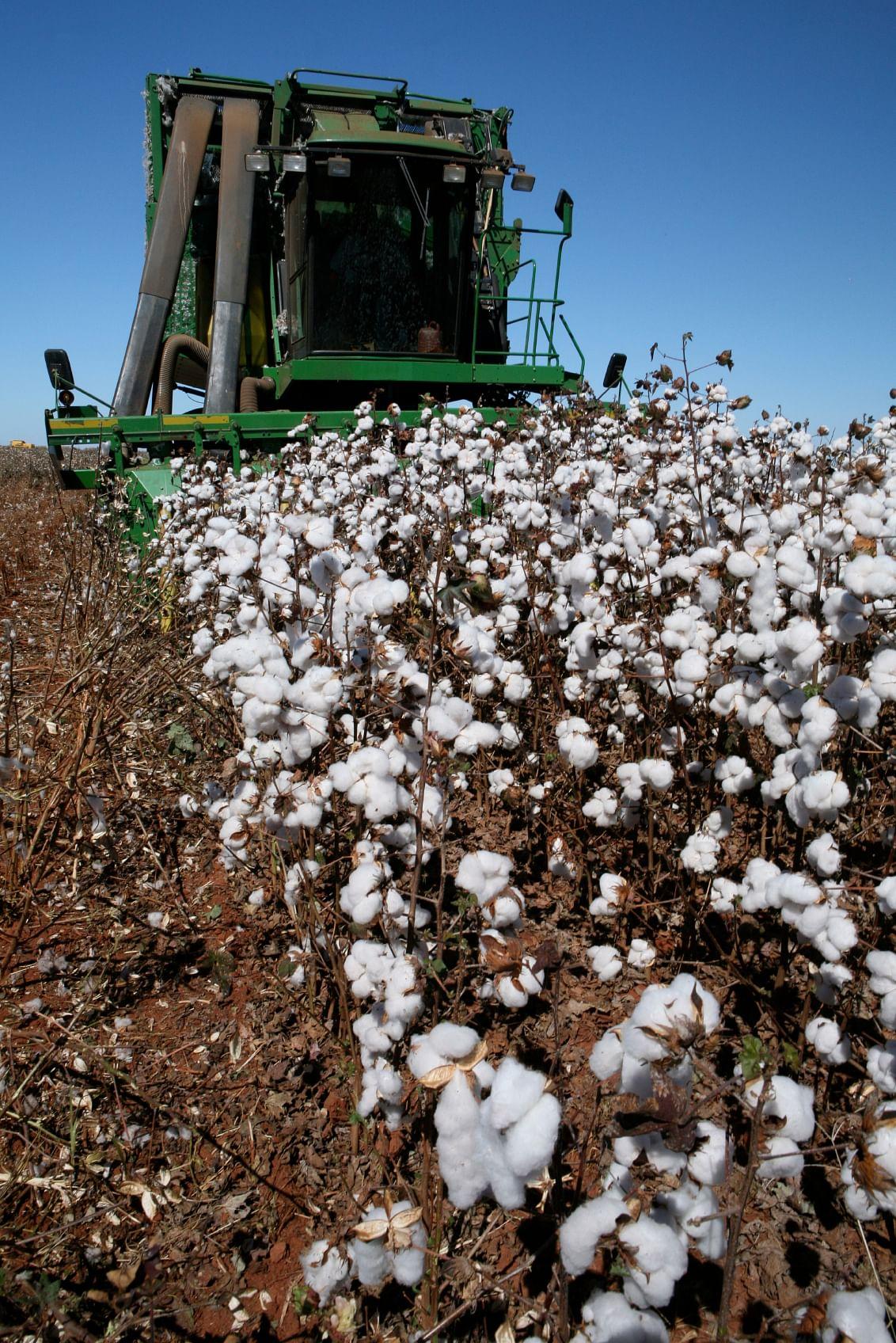 MMBL's Bt cotton technology has 90 percent of the market share. (Photo: iStockphoto)