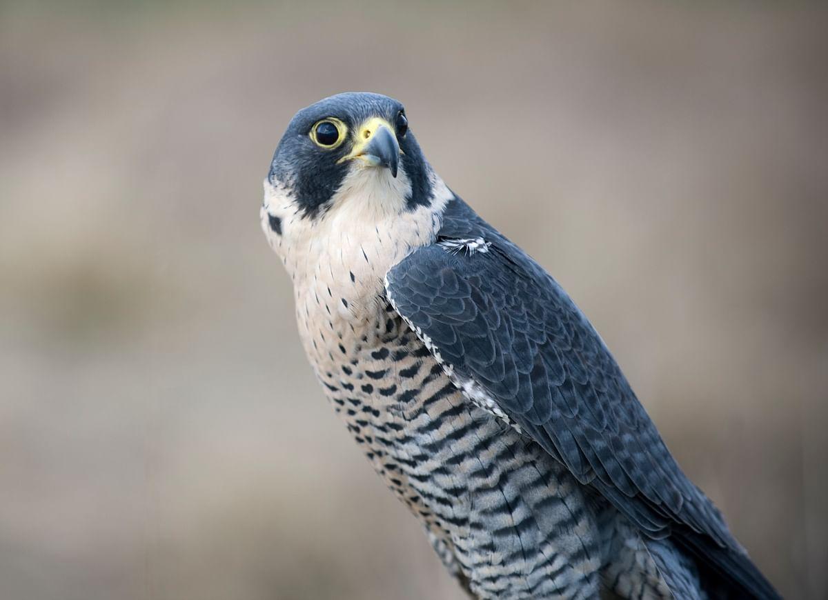 Falcon. (Photo: iStockphoto)