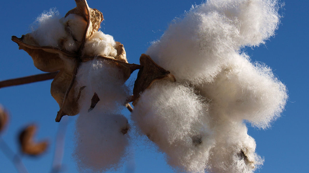 Mahyco-Monsanto Biotech (MMB) has issued notices to terminate the Bt cottonseed licenses of Nuziveedu Seeds Limited (NSL), and its subsidiaries – Pravardhan Seeds and Prabhat Agri Biotech – over non-payment of trait fees. (Photo: iStockphoto)