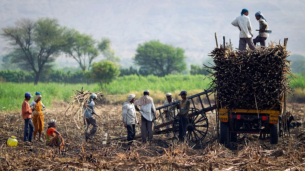 Farmers and labourers load harvested sugarcane onto a trailer in a field outside Gove village in Satara district, about 260 km  south of Mumbai, 10 May2011. (Photo: Reuters)