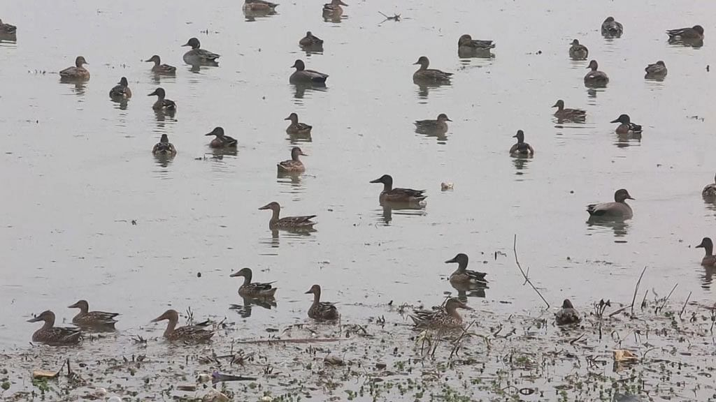 Migratory birds from as far as Europe and Japan flock to Kashmir during winter. (Photo: AP screengrab)