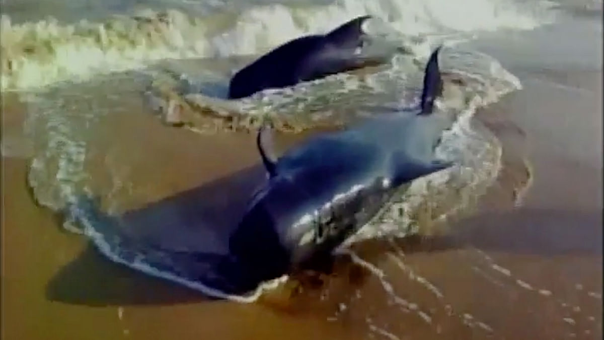Two of the many whales washed on the shores of Tuticorin in Tamil Nadu. (Photo: ANI)