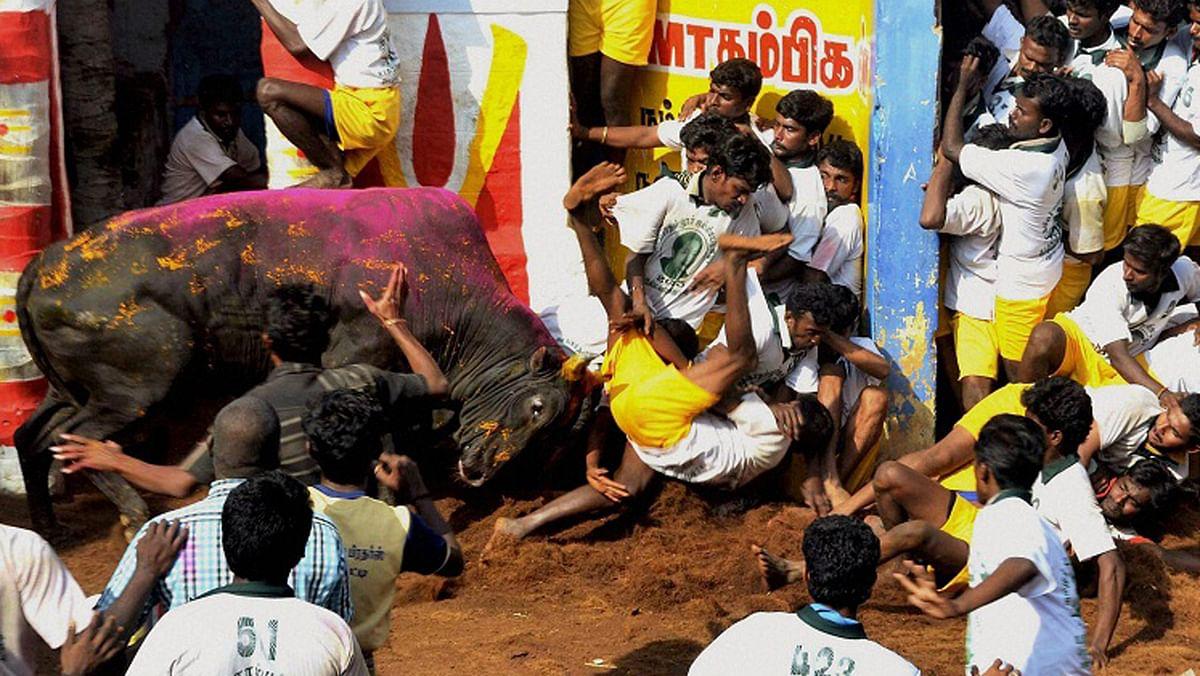 Supreme Court has banned bull-taming sport jallikattu. (Photo Courtesy: <i>The News Minute</i>)