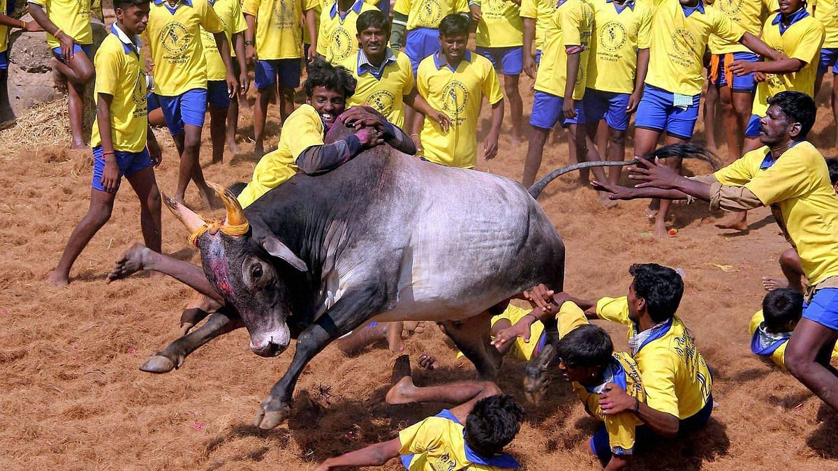 Petitions regarding Jallikattu to be heard in SC on Tuesday. (Photo: PTI)