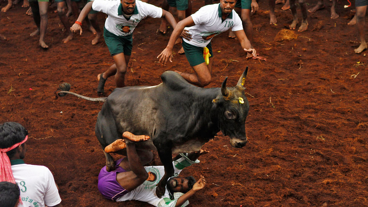 The Centre on Friday allowed the conduct of jallikattu in Tamil Nadu. (Photo: Reuters)