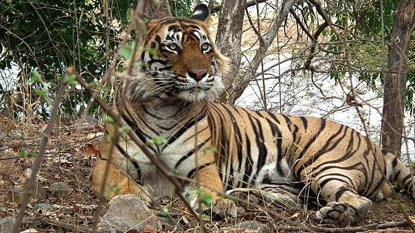 """Ustad, or T-24, has allegedly attacked at least four people (Photo Courtesy: <a href=""""http://www.ranthamborenationalpark.com/blog/"""">Ranthambore National Park</a>)"""