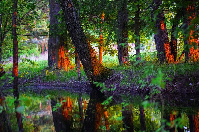 Birch trees near the water in the sunlight at sunset. (Photo: iStockphoto)