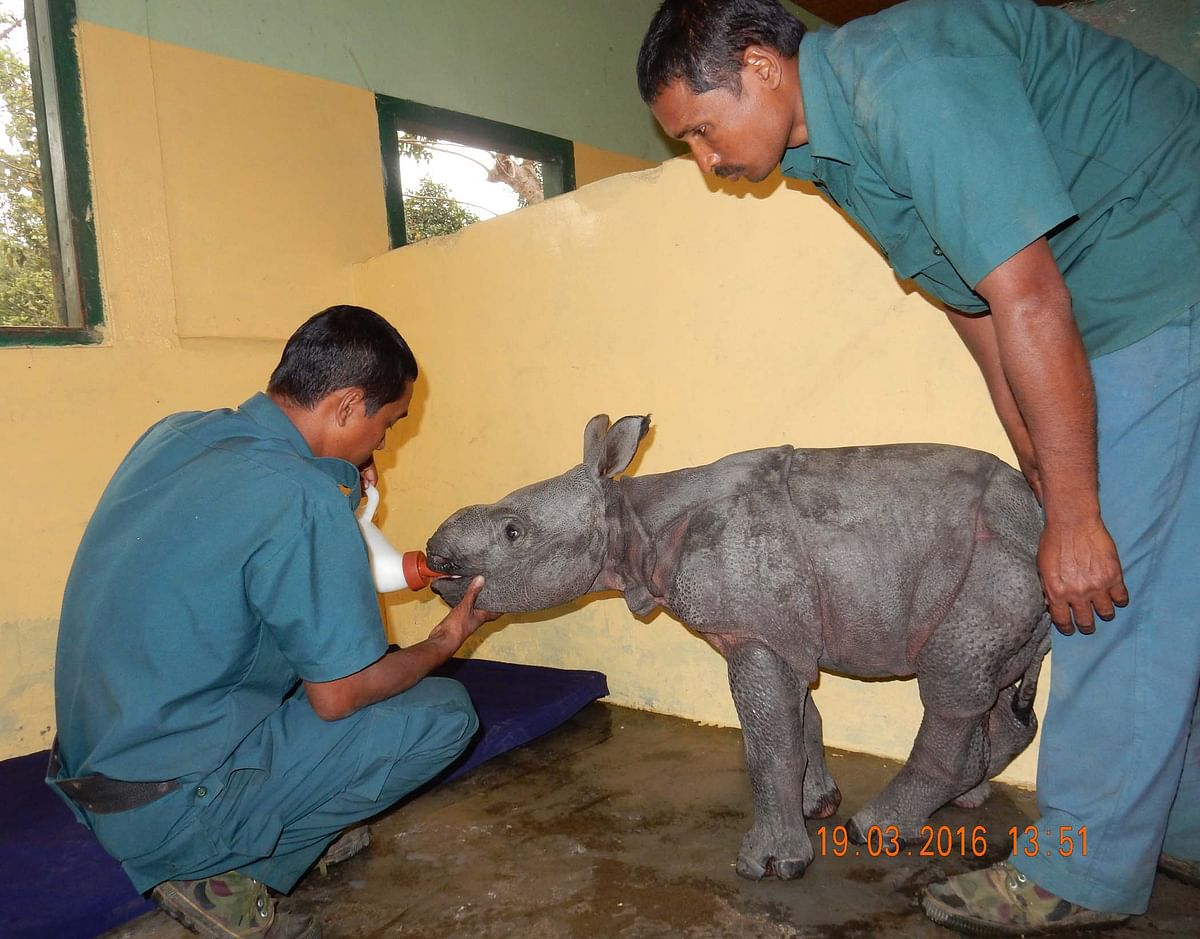 Veterinarians providing supportive care to a rhino calf admitted at Centre for Wildilfe Rehabilitation and Conservation (CWRC), the Assam Forest Department and IFAW-WTI jointly run wildlife care centre. The calf was found alone near Donga forest camp of Bagori forest range of Kaziranga National Park on 19th March 2016. (Photo Courtesy: Panjit Basumatary/IFAW-WTI)