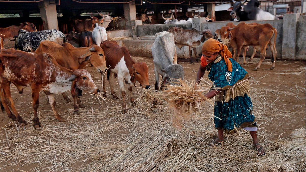 Over the past year, states ruled by the BJP have broadened the ban to include other types of cattle, like bulls and bullocks. (Photo: Reuters)