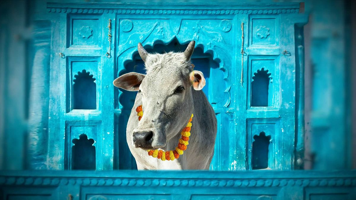 Many farmers are simply abandoning their cattle. (Photo: <b>The Quint</b>)