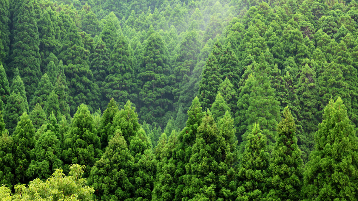 Mountain spruce forest over the hill fith fog behind. (Photo: iStockphoto)