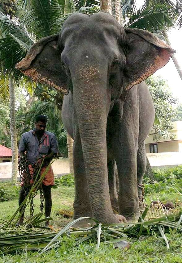 "Dakshayani elephant. (Photo Courtesy: Facebook/<a href=""https://www.facebook.com/306401806071838/photos/a.721868024525212.1073741826.306401806071838/721868164525198/?type=3&amp;theater"">E4 Elephant</a>)"