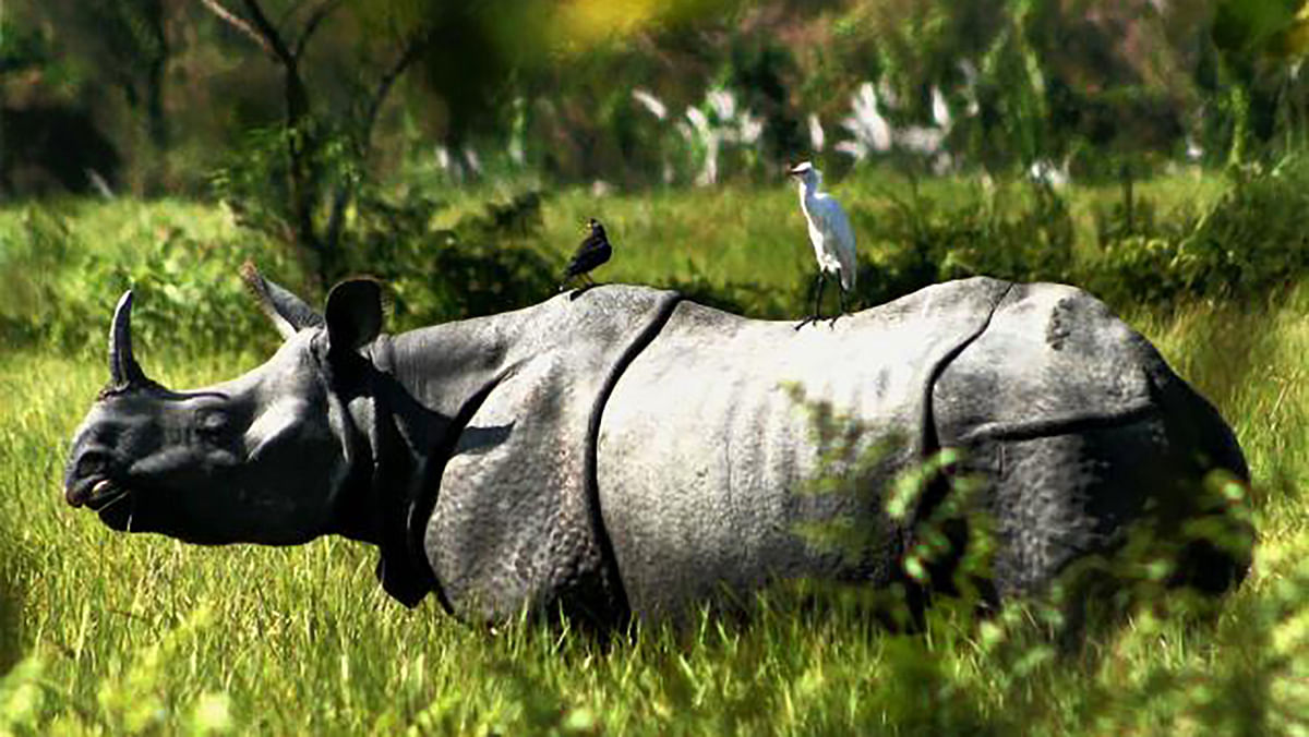 A one-horned rhinoceros at the Kaziranga National Park, about 92 kms from Nagaon in Assam. (Photo: PTI)